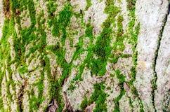 树的吠声的纹理是绿色青苔和地衣 库存照片