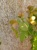 树的吠声 图库摄影