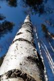 树的图象没有叶子的有没有云彩的水晶天空蔚蓝的 免版税库存照片