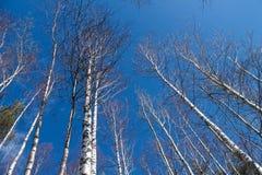 树的图象没有叶子的有没有云彩的水晶天空蔚蓝的 库存照片