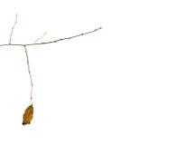 树的干燥秋天叶子斟酌一个光秃的分支 免版税库存图片