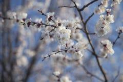 树的开花的分支 免版税图库摄影