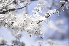 树的开花的分支 免版税库存照片