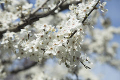 树的开花的分支 免版税库存图片