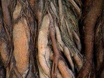 树的惊人的根 免版税库存照片