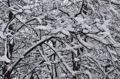 树的枝杈在雪的 免版税库存图片