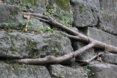 树的根在石头的 库存图片