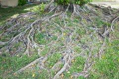 树的根在绿草的 库存图片