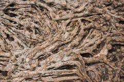 树的根长期是 库存照片