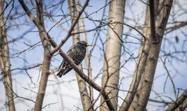 树的椋鸟科 库存照片