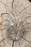 树的横断面 免版税库存照片