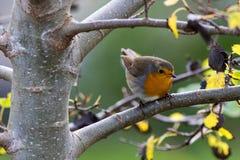 树的欧洲人罗宾 免版税库存照片