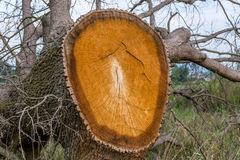 树的死亡 库存图片