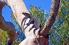 树的澳大利亚人Goanna 库存图片