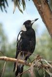 树的澳大利亚鹊 库存图片