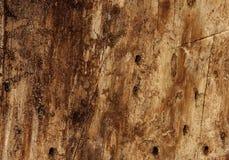 树的片段是被传染的甲虫树皮甲虫(Ips tipografus) 免版税图库摄影
