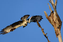 从树的白鹭的羽毛飞行与鱼 免版税库存照片