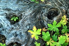 树的眼睛 免版税库存图片