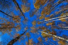 树的秋天分支与黄色的留下蓝天 免版税图库摄影