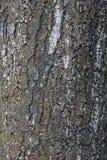 树的粗砺的吠声 免版税库存图片