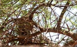 树的豹子 免版税库存照片