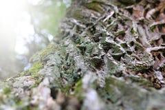 树的起皱纹的吠声 免版税库存图片