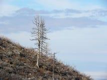 树的骨骼在山火以后的 免版税库存照片
