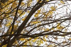 树的黄色叶子 库存图片