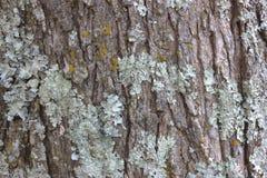 树皮有绿色真菌背景 库存图片
