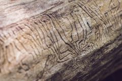 树皮甲虫在木头的画廊板刻 库存图片