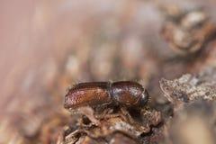 树皮甲虫木头 免版税图库摄影