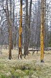 树皮甲虫杀害了红松 库存图片