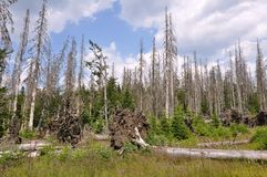 树皮甲虫毁坏的森林 库存照片