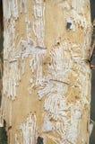 树皮甲虫追猎001 图库摄影