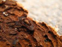 树皮甲虫 库存图片