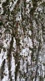 树皮的纹理与绿色青苔的 免版税库存图片