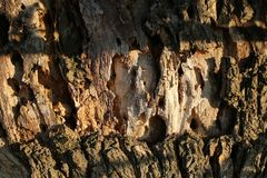 树皮纹理背景 树干吠声在晴朗室外的 本质和生态 植物学和植物 免版税库存照片