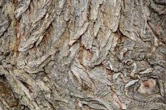 树皮纹理,白柳(晨曲的柳属)吠声 免版税库存照片