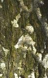 树皮纹理 免版税库存图片