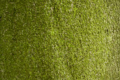 树皮背景。 免版税库存图片