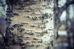 树皮,木纹理背景 森林冰岛 免版税库存照片