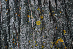 树皮黑暗的纹理  图库摄影