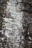 树皮 桦树的外壳 免版税库存图片