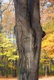 树眼睛 免版税库存图片