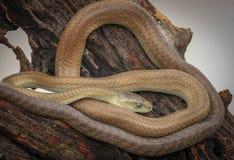 树眼镜蛇蛇 图库摄影