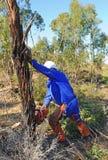 树砍伐在玉树森林里与锯,韦尔瓦省省,西班牙的 图库摄影