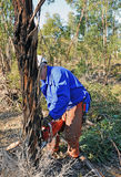 树砍伐在玉树森林里与锯,韦尔瓦省省,西班牙的 免版税库存照片