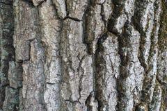 树破裂的吠声与青苔和地衣的 库存照片