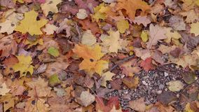 树秋叶在地面上的在森林里 影视素材