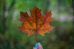 树秋天的叶子 免版税库存图片